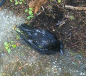 A dead crow outside the front door.